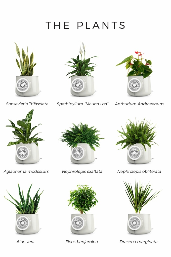 Clairy Natural Air Purifier Plants